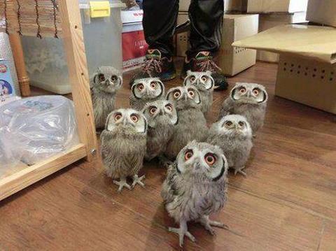 owl herd