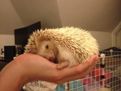 cuddley hedgie