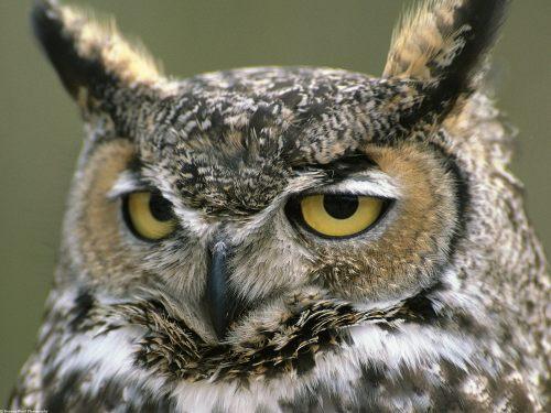 judgemental owl