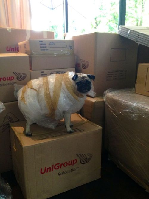 moving a pug
