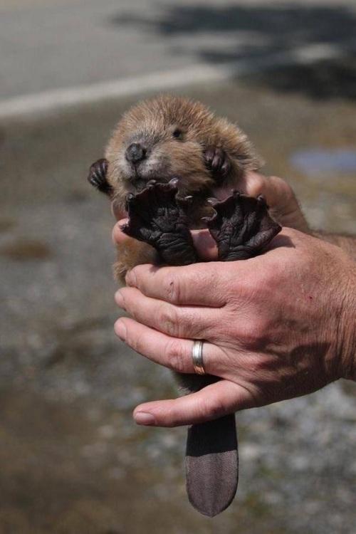 beaver feet